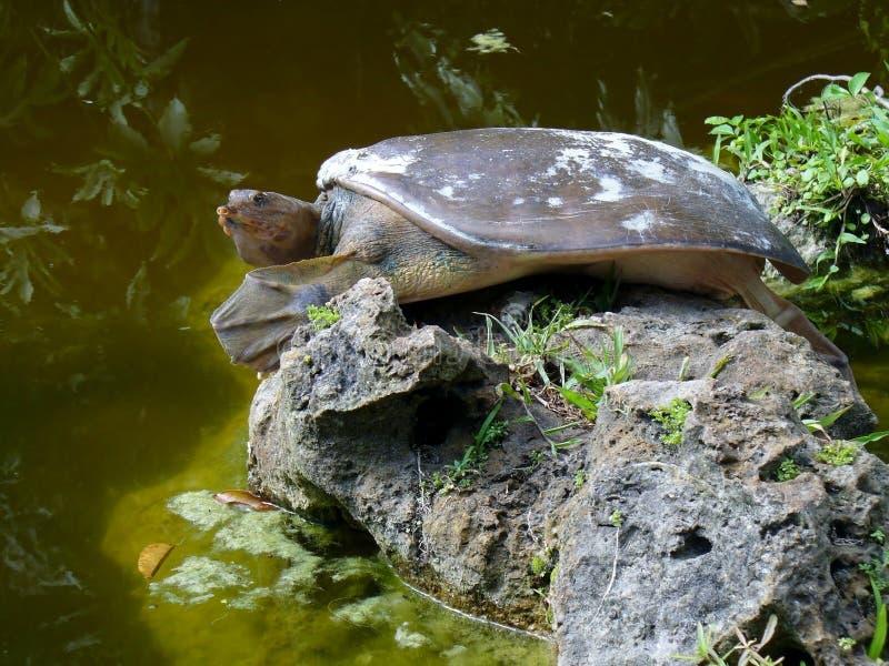 Doornige softshellschildpad stock foto