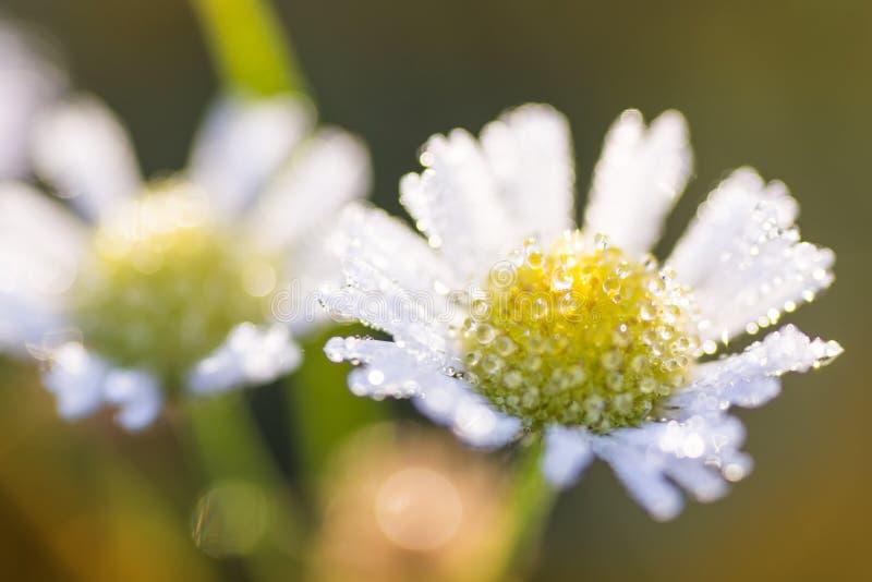 Doorweekte Daisy stock fotografie