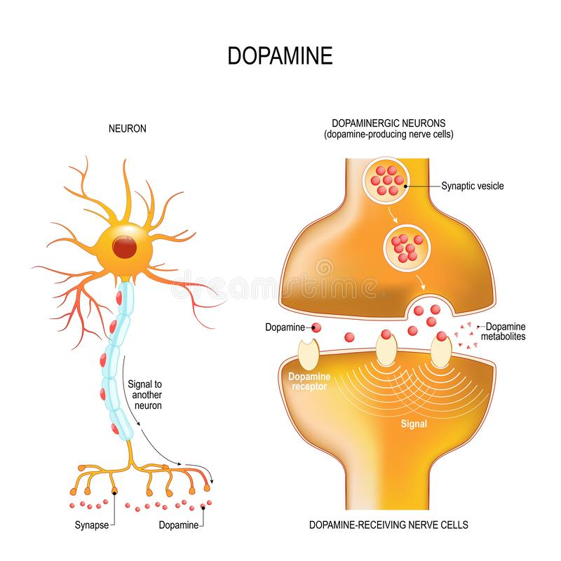 Dopamine. closeup presynaptic axon terminal, synaptic cleft, and dopamine-receiving nerve and dopamine-producing cells stock illustration