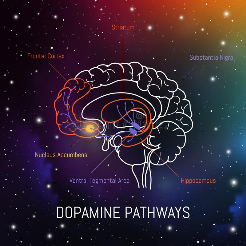 Free Dopamine Pathways In The Brain. Neuroscience Medical Infographic. Striatum, Substantia Nigra, Hippocampus, Ventral Tegmental Area Stock Photos - 186028093