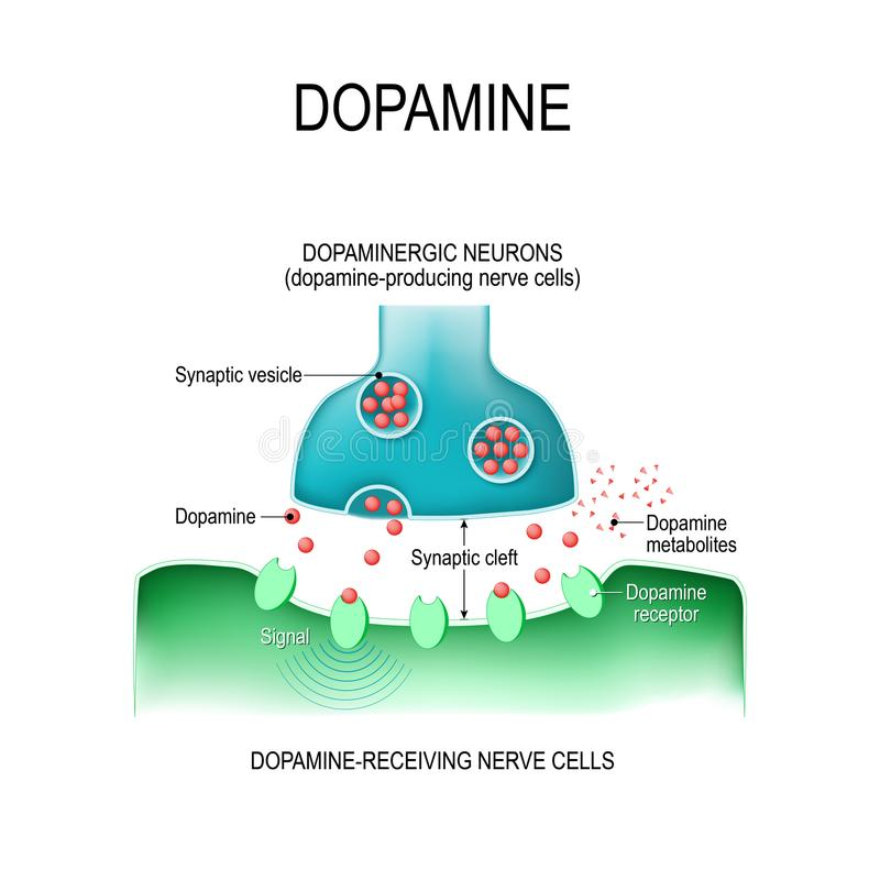 dopamine twee neuronen met receptoren, en synaptisch gespleten met D royalty-vrije illustratie