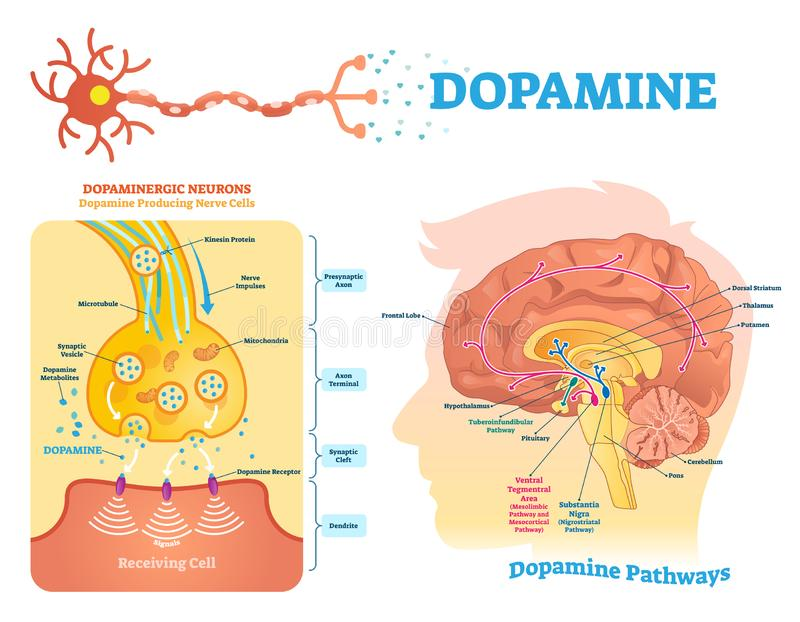 Dopamine vector illustration. Labeled diagram with its action and pathways. Scheme with closeup presynaptic axon, terminal, synaptic cleft, dendrite and royalty free illustration