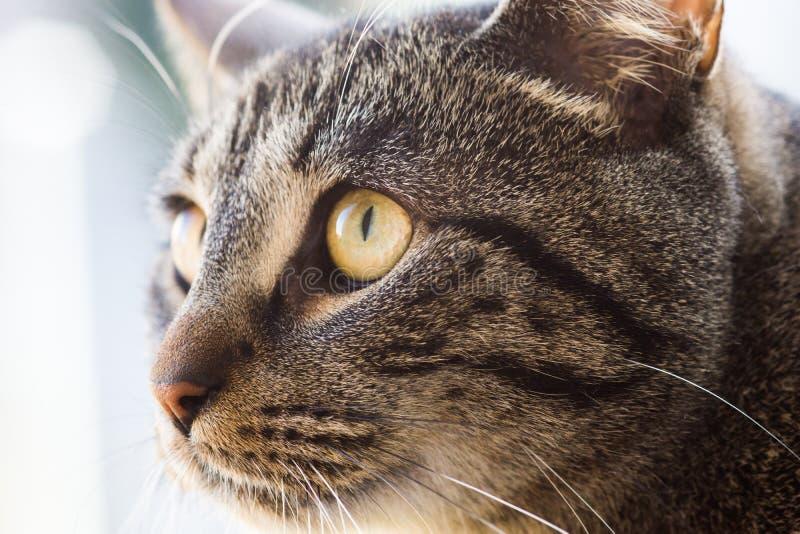 Dopatrywanie kot fotografia royalty free