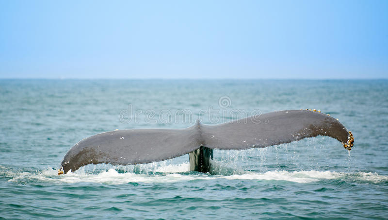dopatrywanie wieloryb zdjęcie stock