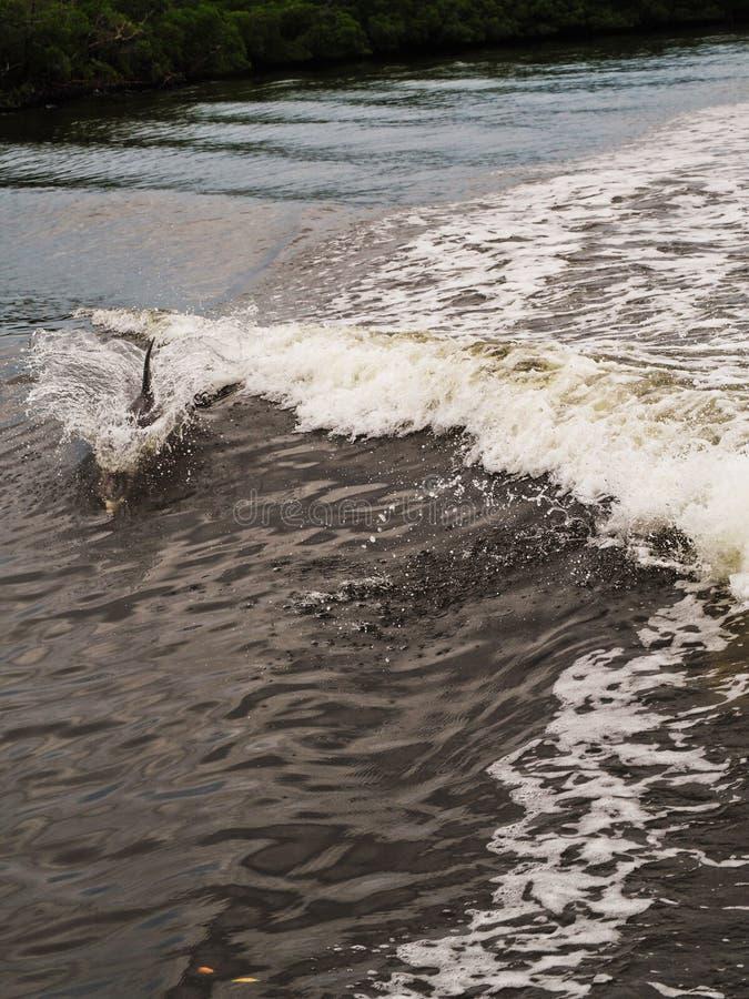 Dophin sautant à la suite du bateau photo libre de droits