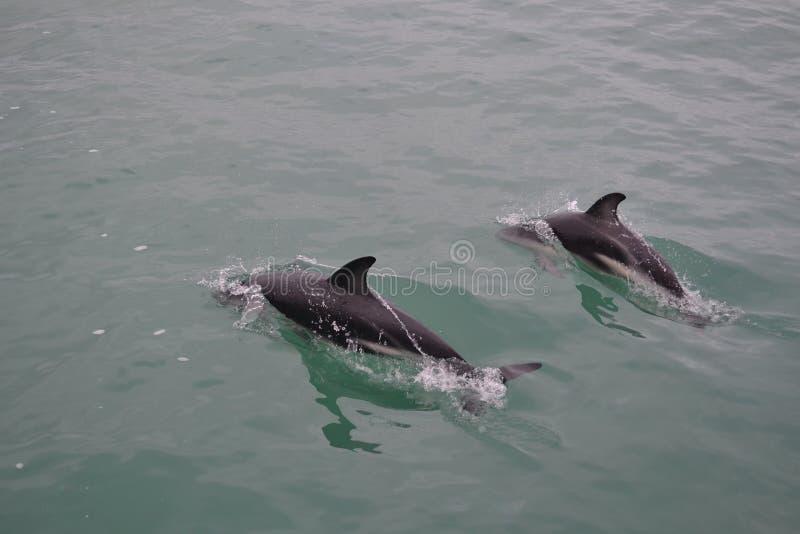 Dophins fotografia de stock