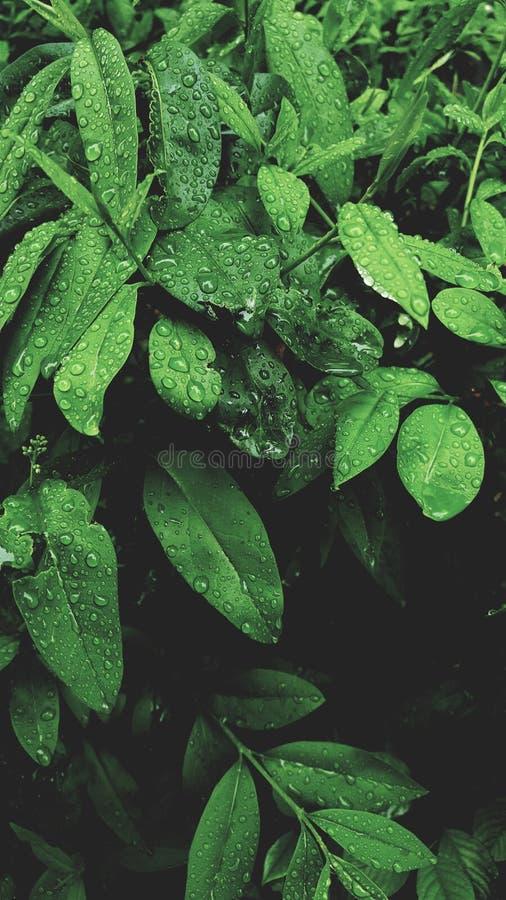 Dopo le gocce di acqua della pioggia sulle foglie verdi nei precedenti naturali del modello del giardino Bellezza della natura fotografia stock