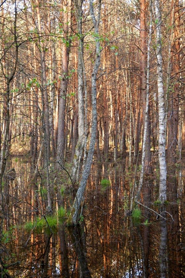 Download Doppade Swamps För Biebrza Skog Fotografering för Bildbyråer - Bild av bevarande, naturligt: 19778167