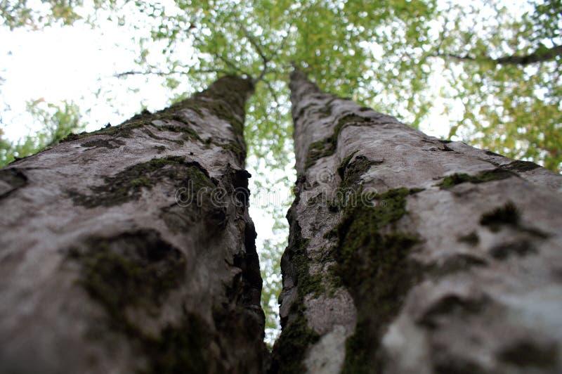 Doppelbäume stockbild