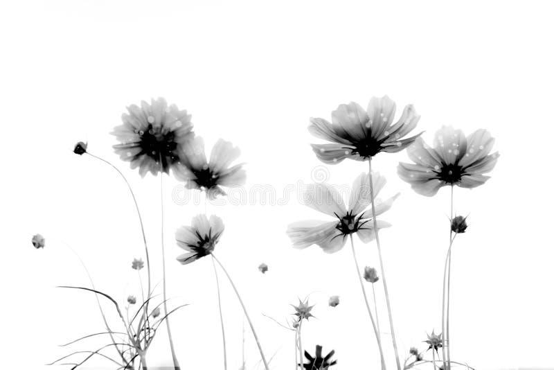Doppelbelichtungsweichzeichnung und unscharfe Kosmosblumen auf weißem b stockbilder