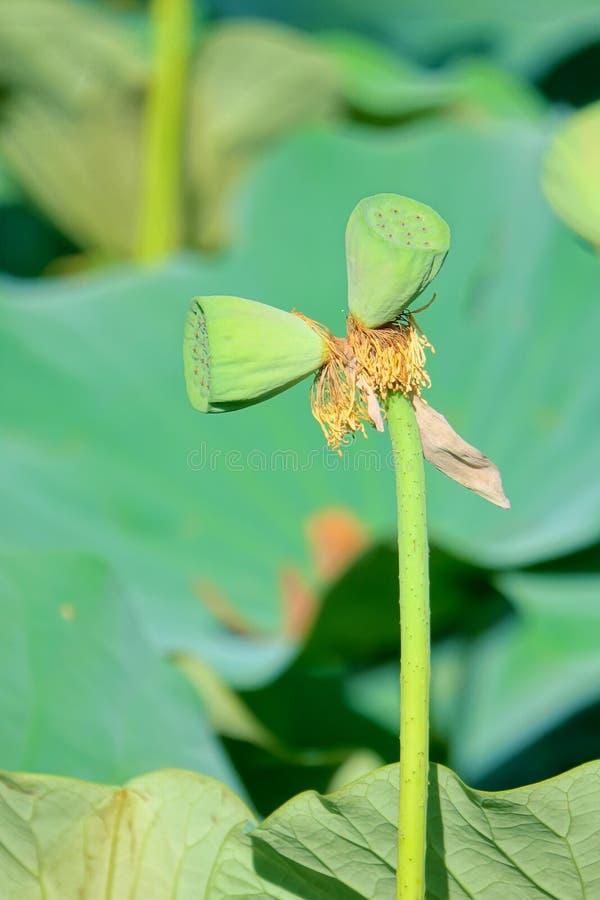 Doppellotos seedpods auf einem Stiel lizenzfreie stockbilder
