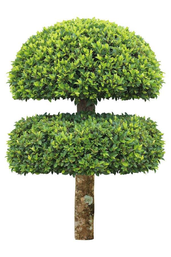 Doppelschicht befestigte den Topiarybaum, der auf weißem Hintergrund für formalen künstlerischen Designgarten der japanischen und lizenzfreie stockfotos
