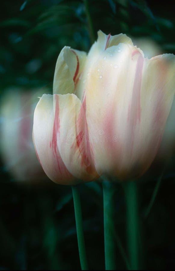 Download Doppelte Berührung stockfoto. Bild von saisonal, tulpe, abschluß - 26518