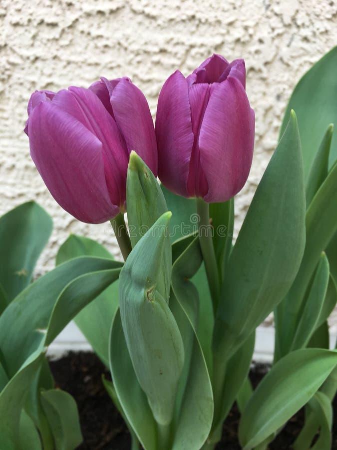 Doppelte Blumen lizenzfreie stockbilder