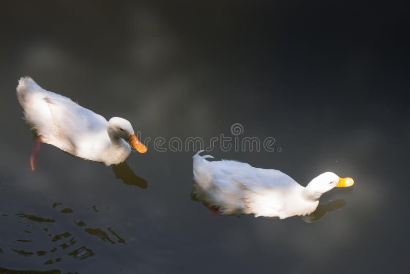 Doppelte Gänse, die im See schwimmen stockfotografie