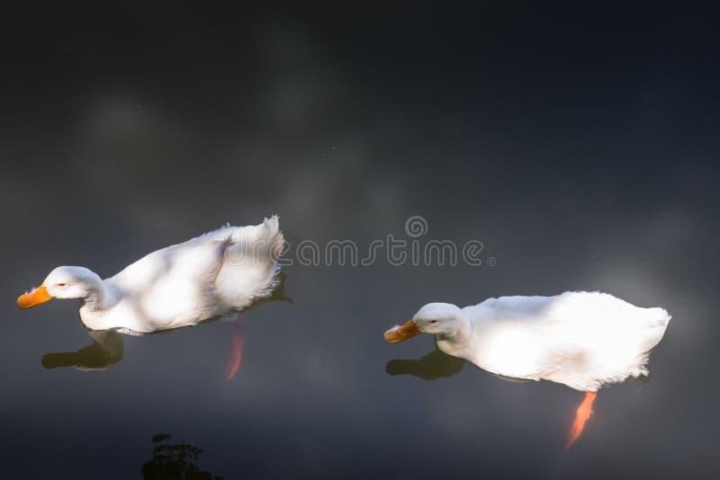 Doppelte Gänse, die im See schwimmen stockfotos