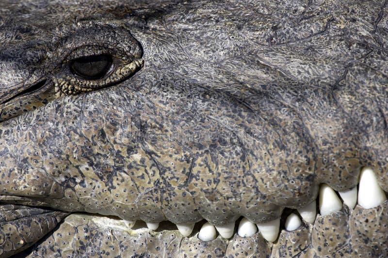 Doppelte mit Haube Kormoran-Sumpfgebiete geben Nationalpark Florida USA stockbilder