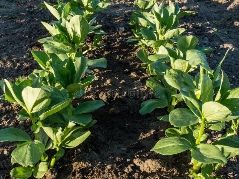 Doppelte Reihe von breitem Bean Plants stockbild