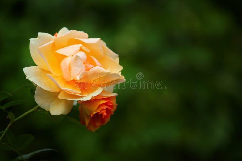 Doppelter roter gelbe Rosen-Herbst Garten lizenzfreies stockbild