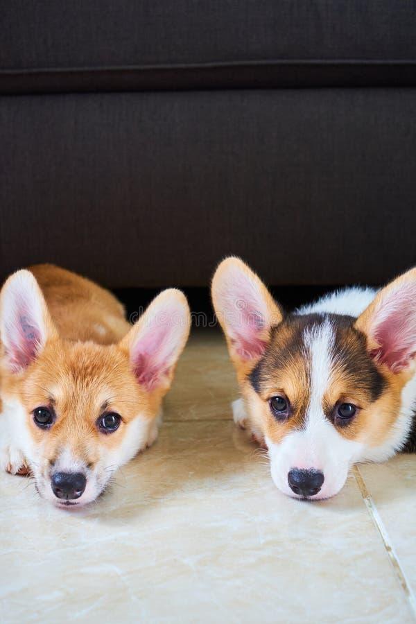 Doppi cani del corgi fotografia stock