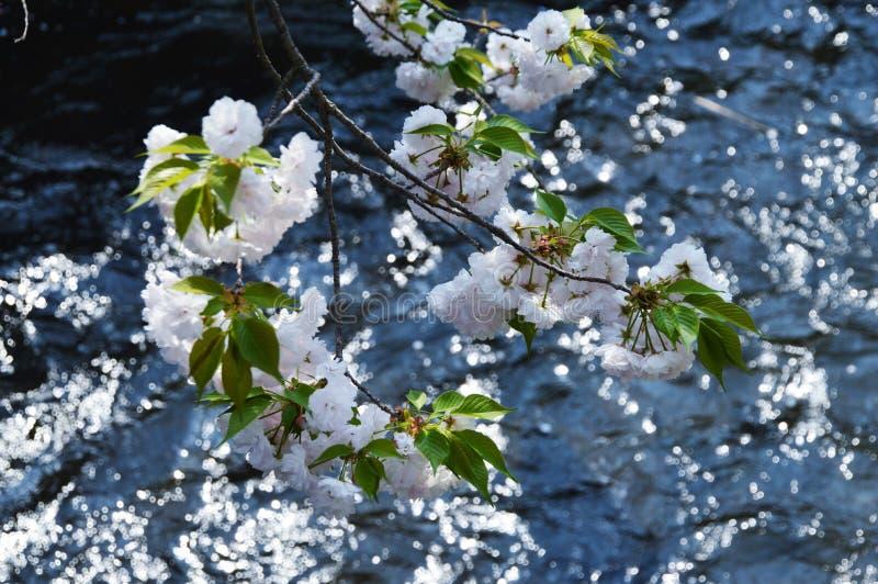 Doppi fiori di ciliegia fotografia stock
