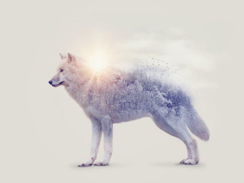 Doppia esposizione con un lupo artico fotografia stock libera da diritti