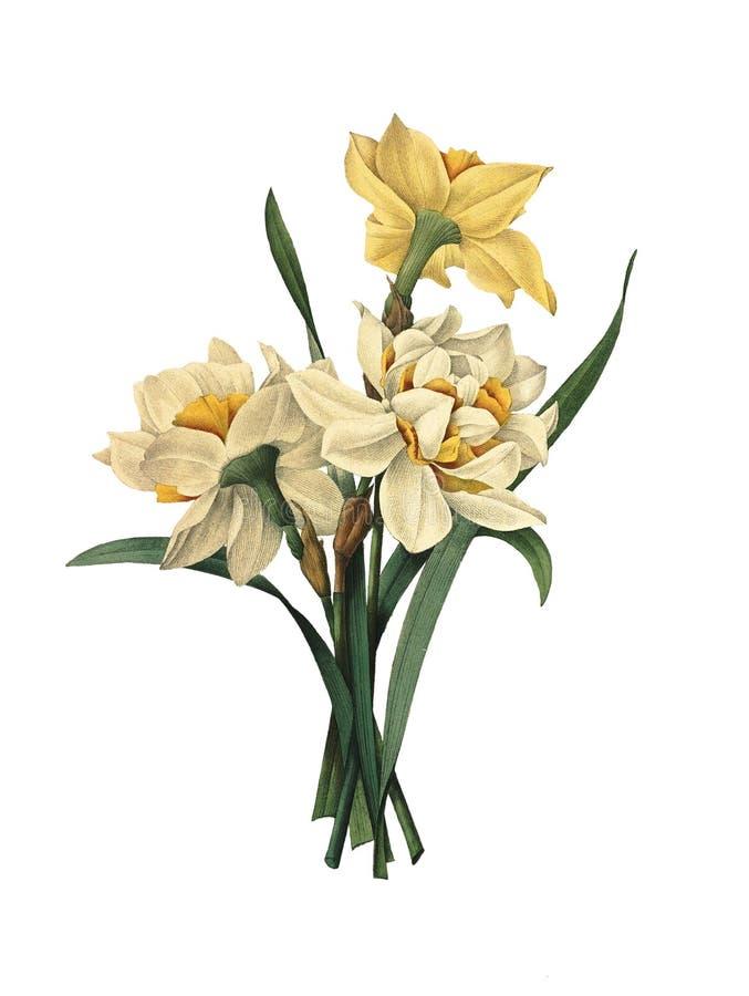 Doppia illustrazione del fiore dei narcisi illustrazione di stock
