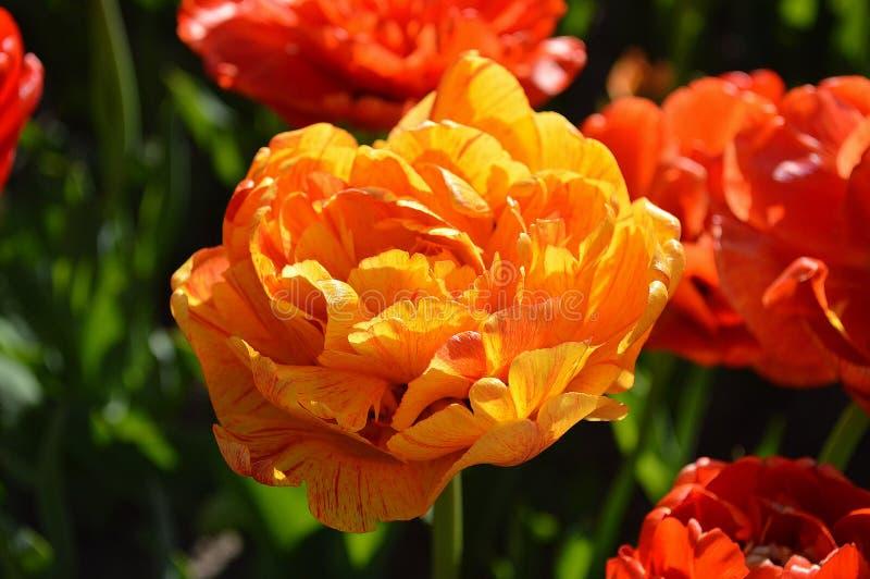 Doppia Rose Tulip, fine su fotografia stock