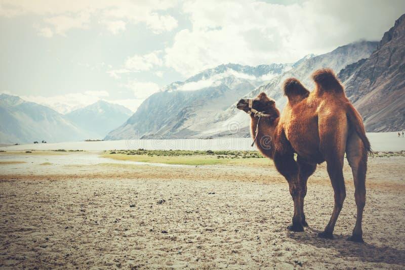 Doppio cammello della gobba che provoca sul suo viaggio nel deserto in valle di Nubra, Ladakh, India immagini stock