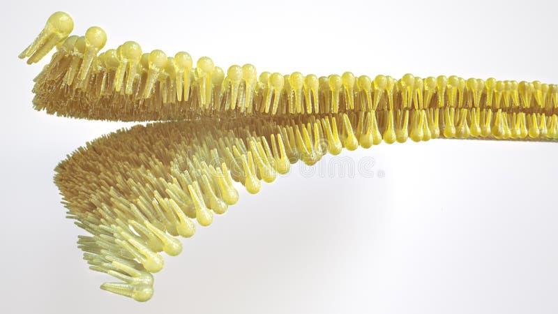 Doppio strato lipidico umano - rappresentazione 3D illustrazione vettoriale