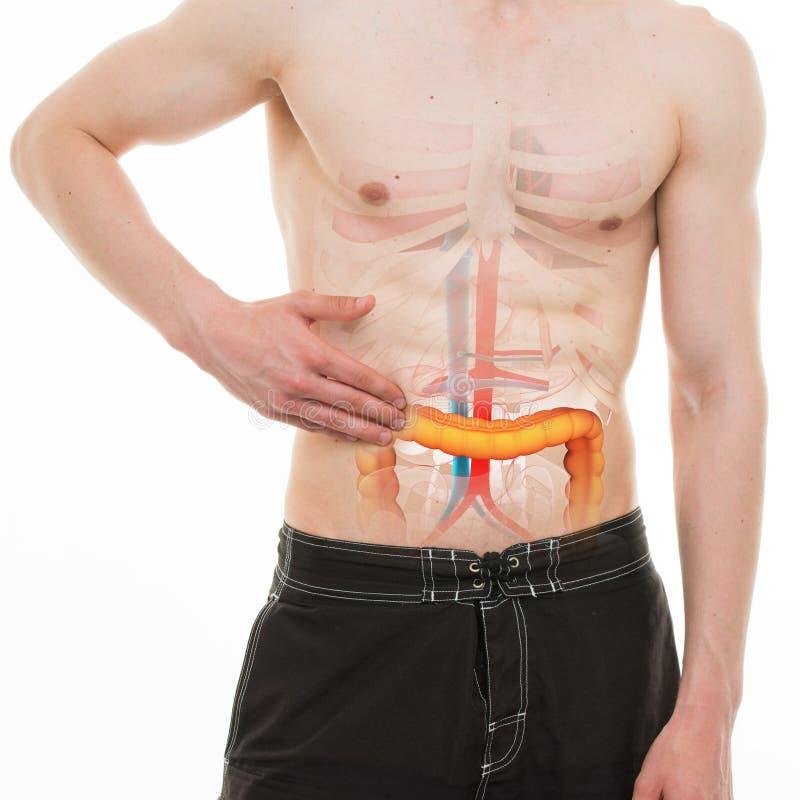 Dor abdominal - dor do lado direito do intestino dos dois pontos - anatomia REAL imagens de stock royalty free