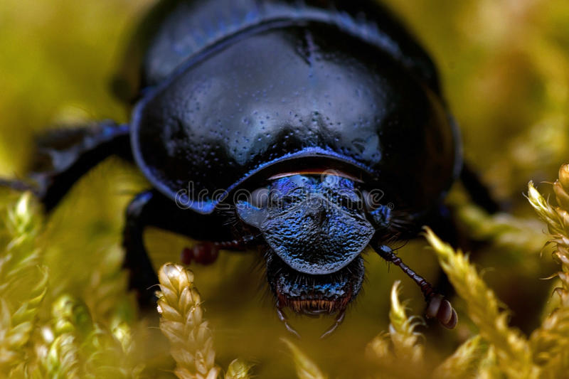Dor beetle in moss. Dor dung beetle. Geotrupes stercorarius. Anoplotrupes stercorosus in moss royalty free stock photo