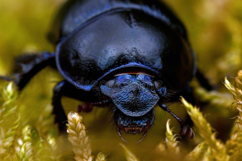 Dor-Käfer im Moos lizenzfreies stockfoto