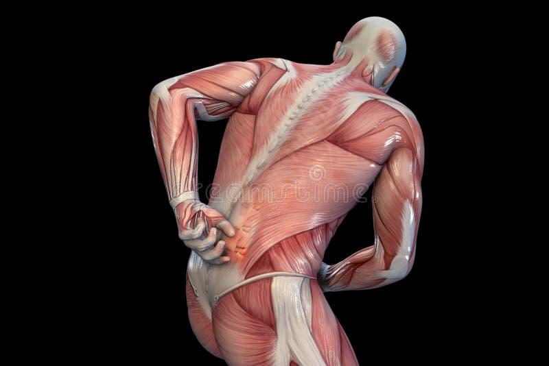 Dor nas costas anatômica da visão ilustração 3D ilustração royalty free