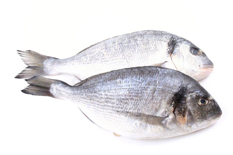 dorada鱼 免版税库存照片