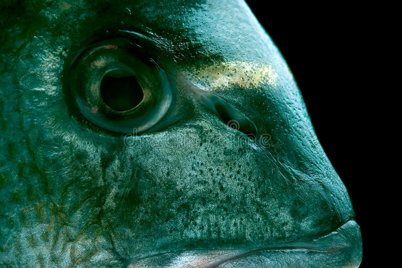 Dorada Fische stockfotografie