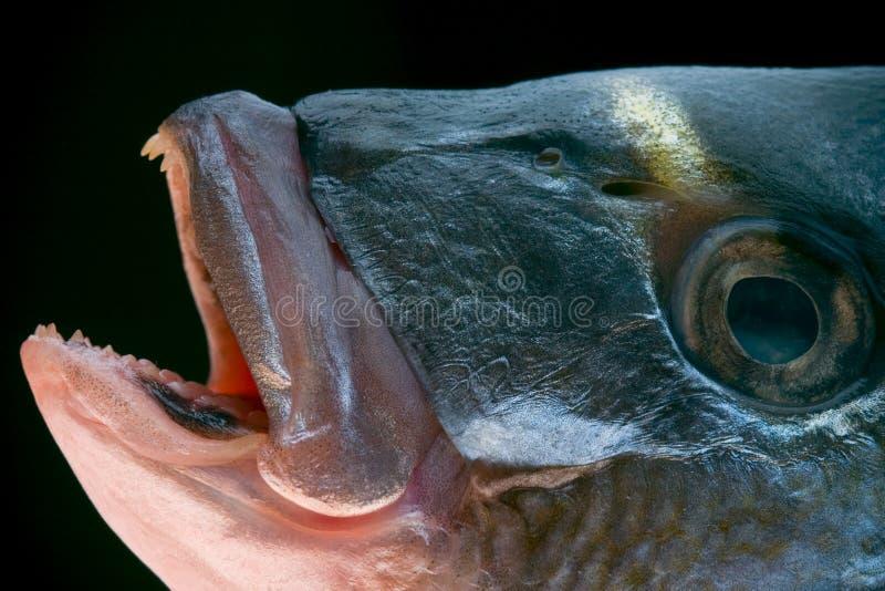 Dorada fish head stock image