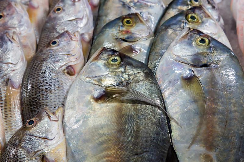Dorada fish set Seafood royalty free stock image