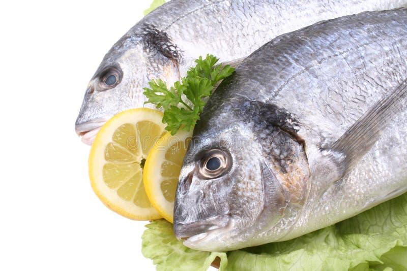 dorada ryb obrazy royalty free