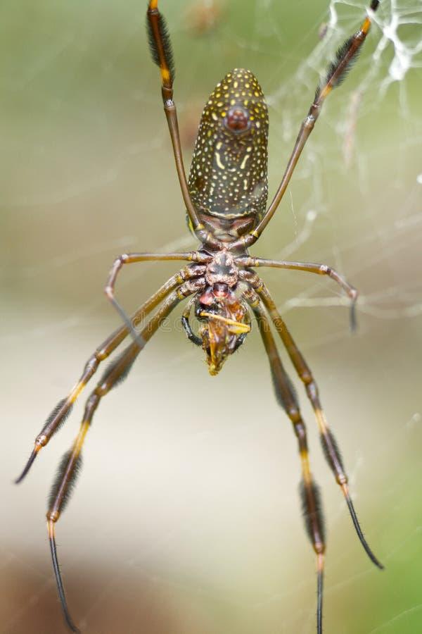 Doradao Nephila clavipes spin van Arañade seda royalty-vrije stock foto's