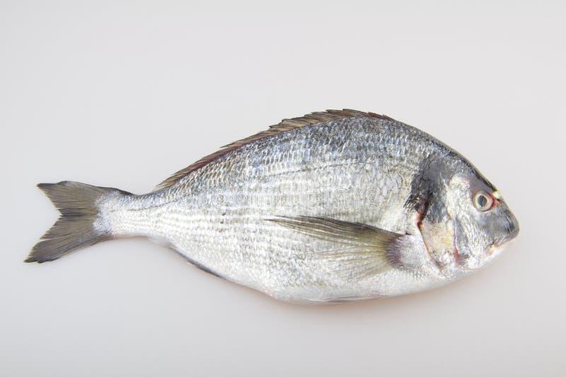 Dorade de poisson cru photographie stock