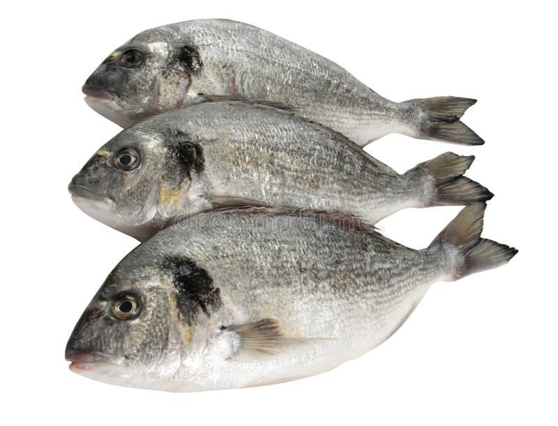 Dorade fish. Three raw dorade fish on white background royalty free stock photography
