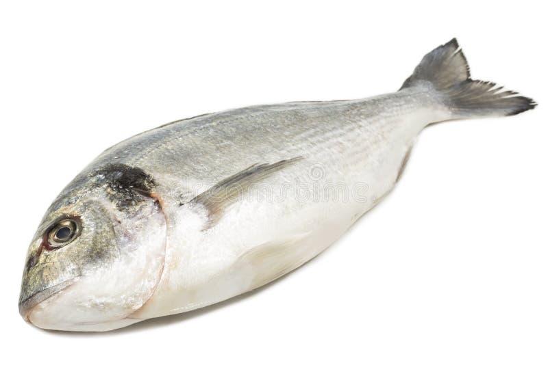 Dorade fish. On white background royalty free stock images