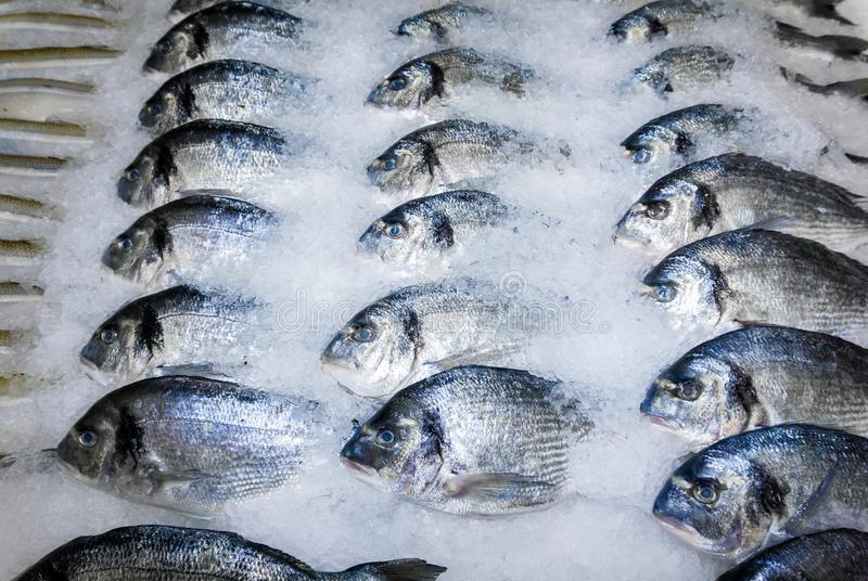 Dorade fish in the snow in the store. Dorade fish in the snow on the shop counter royalty free stock images