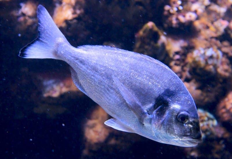 Dorade (gilt-head bream) in aquarium. Dorade (gilt-head bream) in swimming in a big aquarium. One of the tastiest fishes royalty free stock image