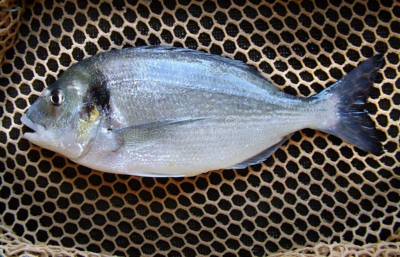Dorade-populaire marine gecultiveerde vissen stock foto
