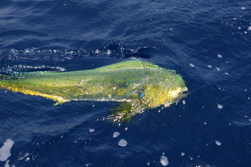 Dorado buntes Fisch-Sportsalzwasser stockbilder
