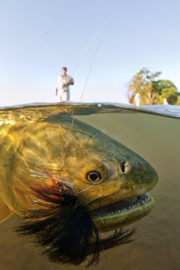Dorado d'or sur une mouche Rod sous-marin images libres de droits