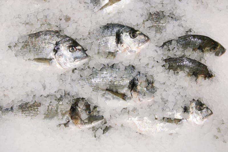 Dorado Fische auf Eis frische sparus Fische auf Draufsicht des Eises lizenzfreies stockfoto