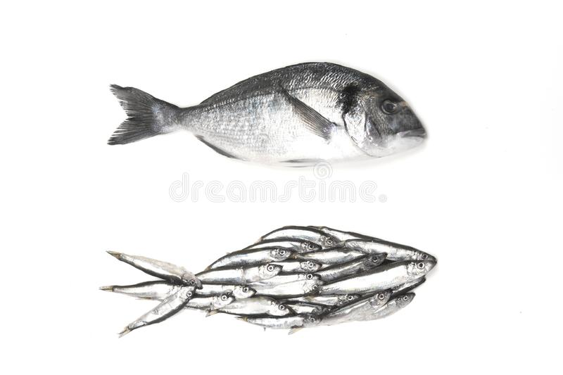 Dorado fish and fish silhouette assembled from small fish. Isolated on white, view from above royalty free stock image
